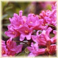 Il miele di rododendro della apicoltura del samp for Rododendro pianta